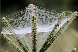"""""""Spinnennetz in Tannenspitze"""" von Frank Liebig - Archiv Tierarzt i. R. Frank Liebig. © Lizenziert unter CC BY-SA 3.0 de über Wikimedia Commons."""